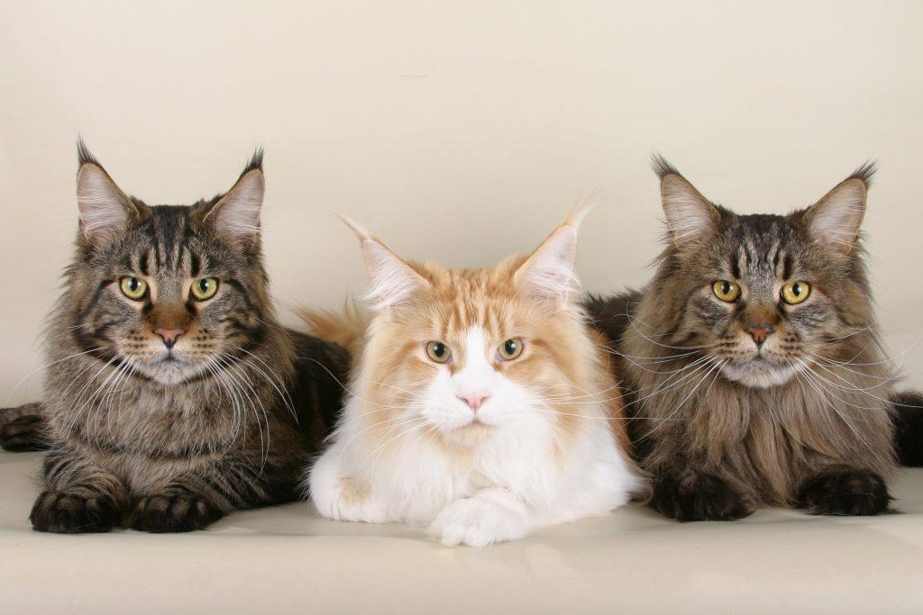 Tres gatos bonitos tumbados