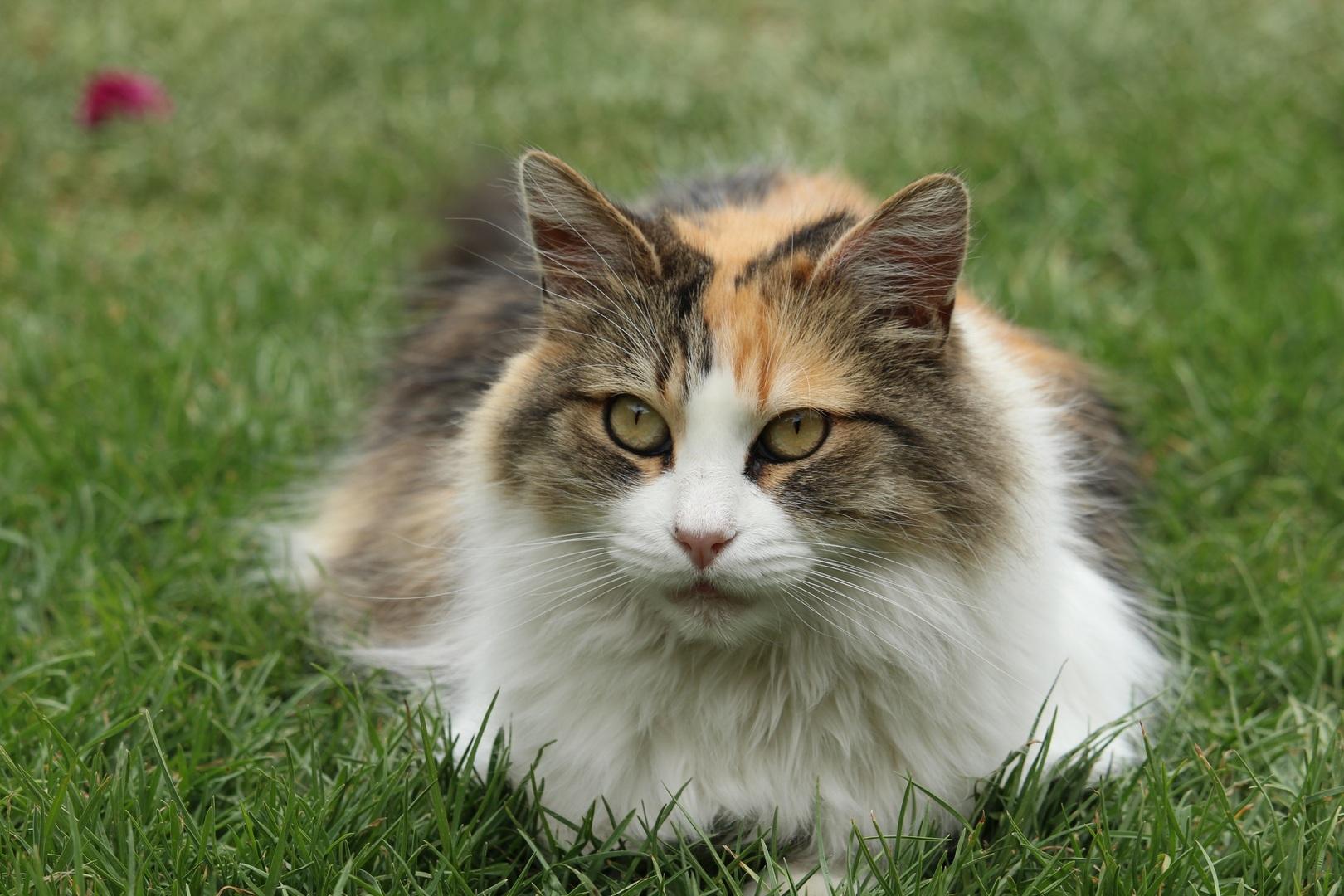 explicación por qué los gatos tienen siete vidas